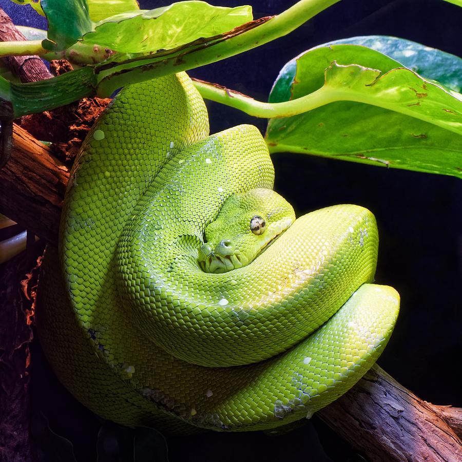 Green Tree Python  by KJ Swan