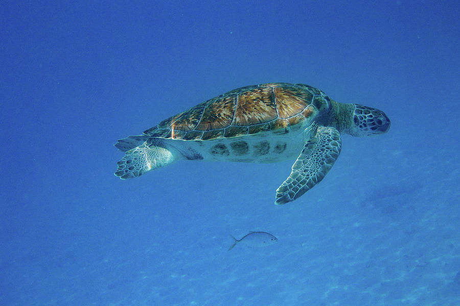 Green Turtle Above Fish Below by Mark Hunter