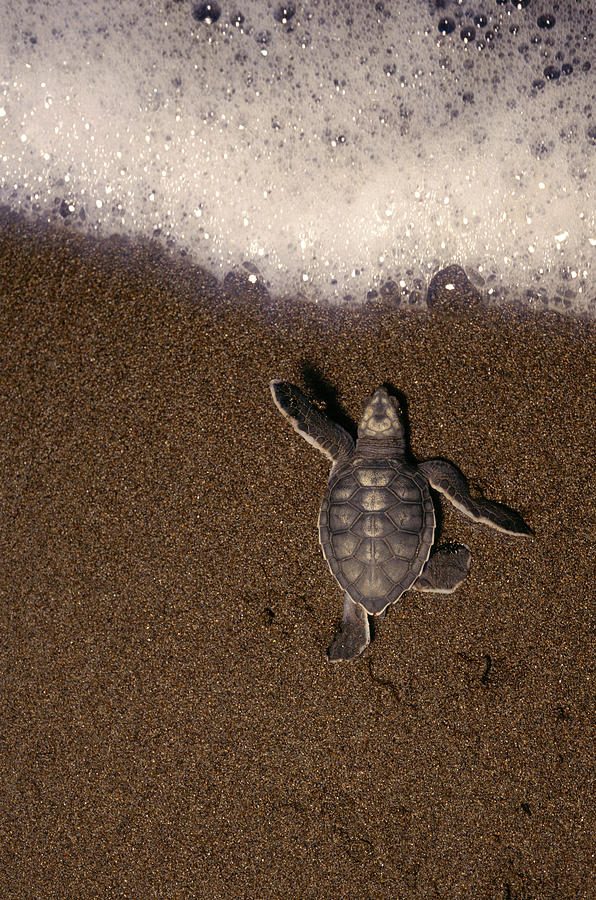 Green Turtle Chelonia Mydas Hatchling Photograph by Kevin Schafer