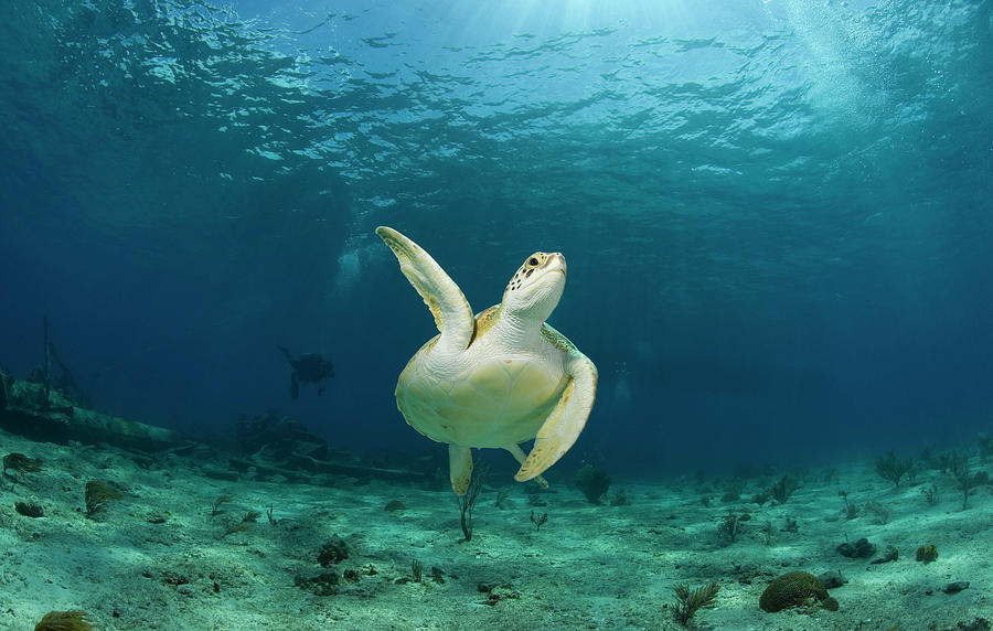 Green Turtle Chelonia Mydas Swimming Photograph by Stephen Frink