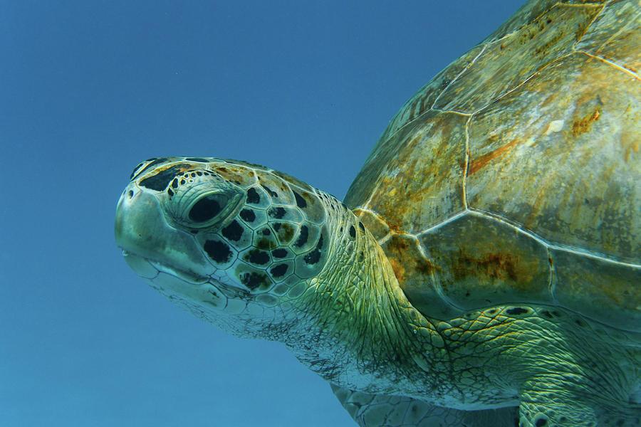 Green Turtle Portrait by Mark Hunter