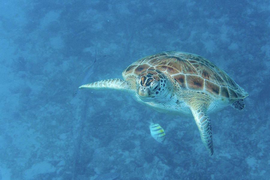 Green Turtle Striped Fish by Mark Hunter