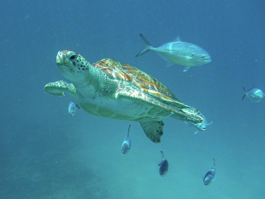 Green Turtle Swimming with Fish by Mark Hunter