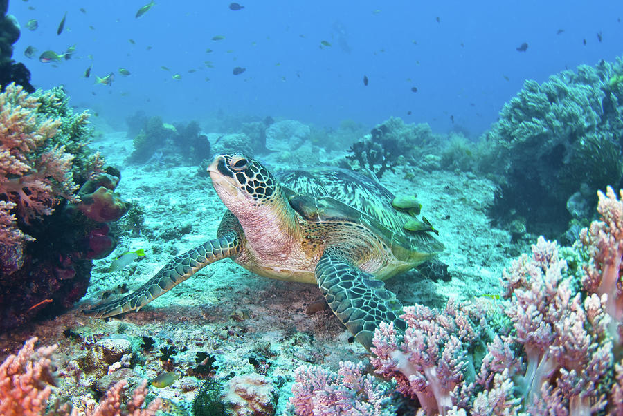 Green Turtle Photograph by Wendy A. Capili