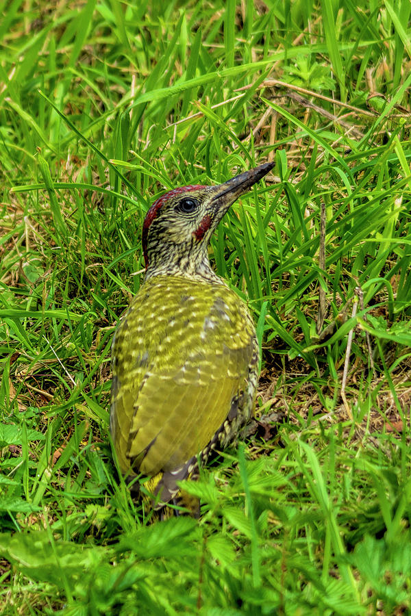 Woodpecker Photograph - Green Woodpecker by Steev Stamford