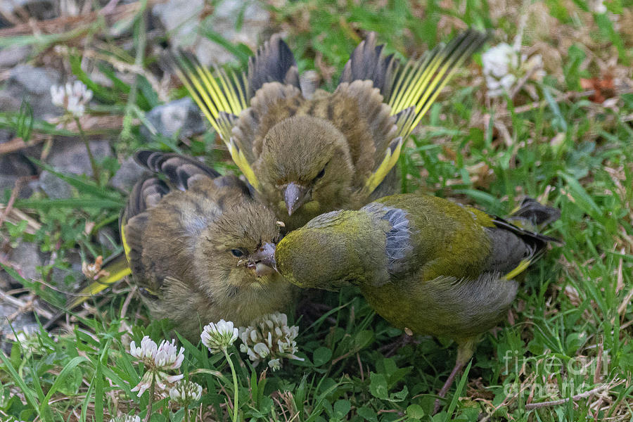 Greenfinch Feeding Young Photograph