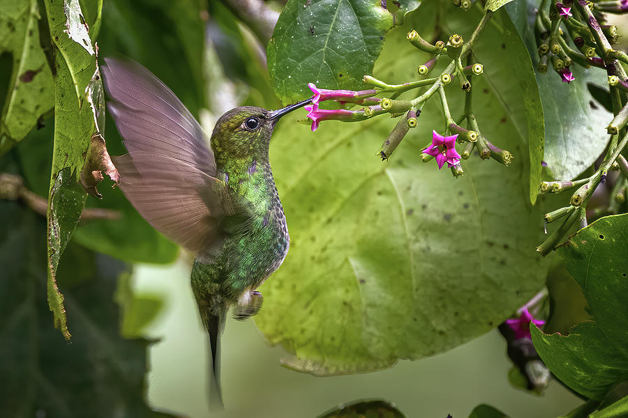 Greenish Puffleg Fincas Verdes San Antonio Tolima Colombia by Adam Rainoff