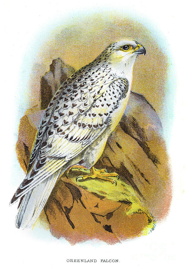 Greenland Falcon Engraving 1896 Digital Art by Thepalmer