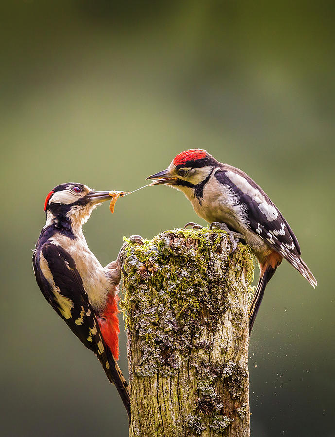 Greta Spotted Woodpecker Parent And Photograph by Peter Orr Photography