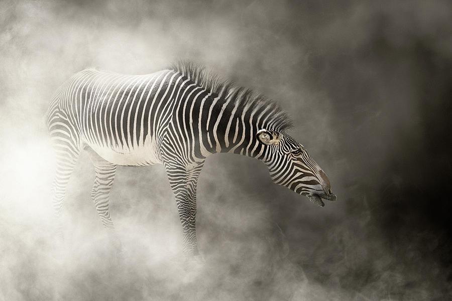 Grevy's Zebra In The Dust by Susan Schmitz