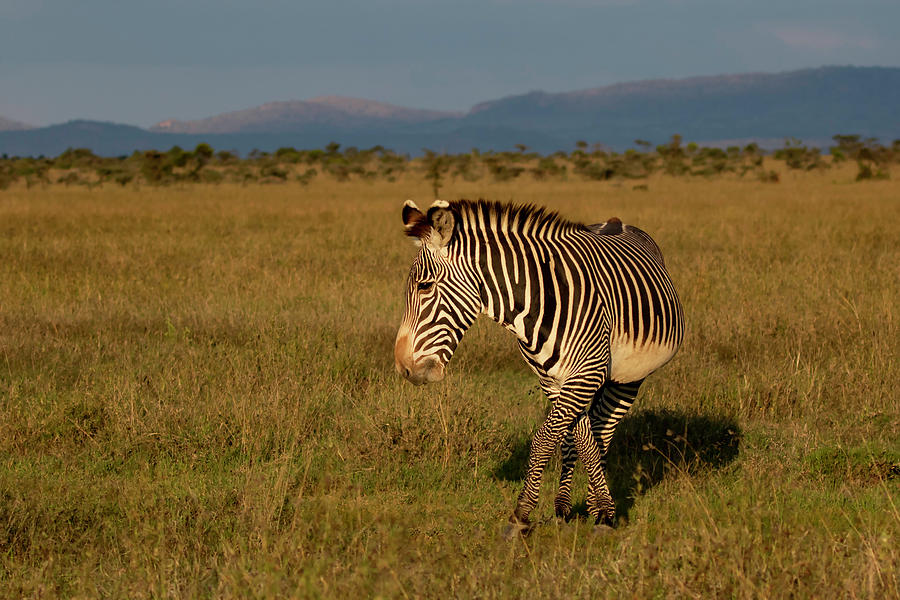 Grevy's Zebra by Thomas Kallmeyer
