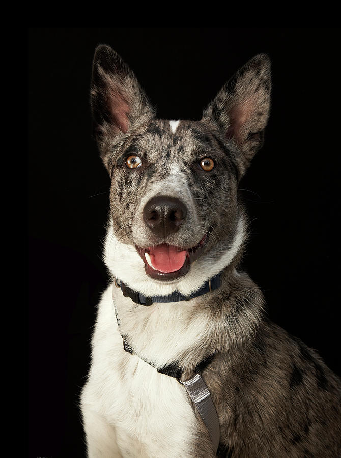 Grey And White Australian Shepherd With Photograph by M Photo