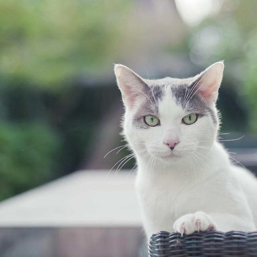 Grey And White Cat By Cindy Prins