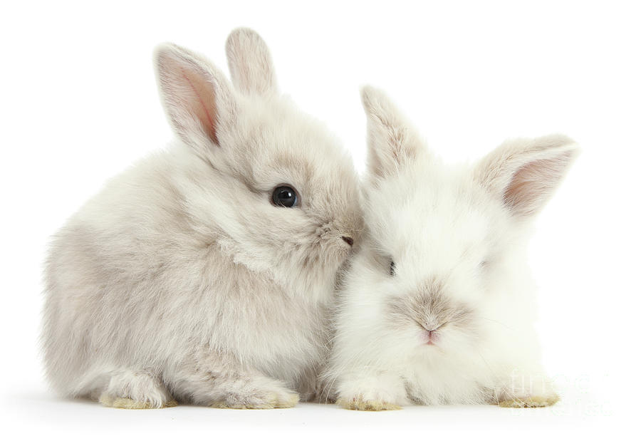Grey and White Love Bunnies by Warren Photographic