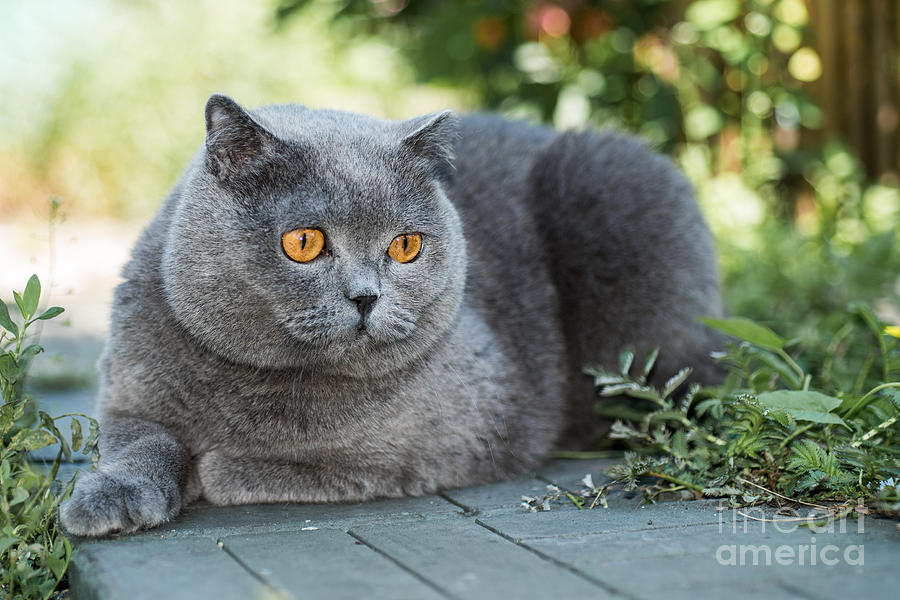 Small Photograph - Grey British Cat Lying In The Green by Anton Papulov