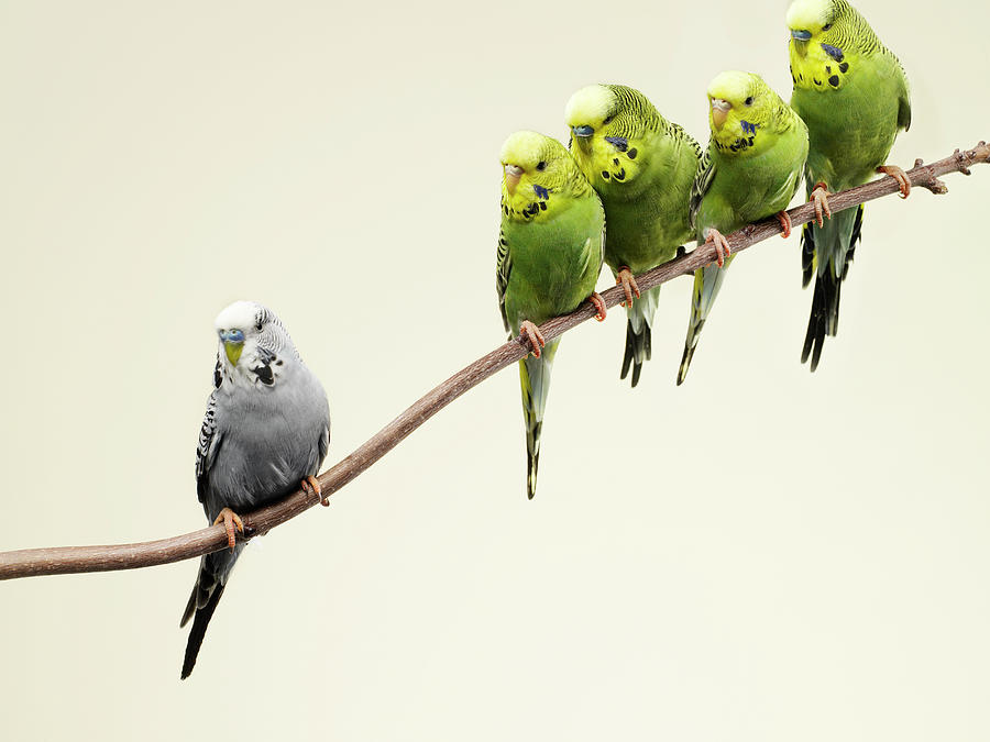 Standing Out From The Crowd Photograph - Grey Budgie Standing Apart From Green by Michael Blann