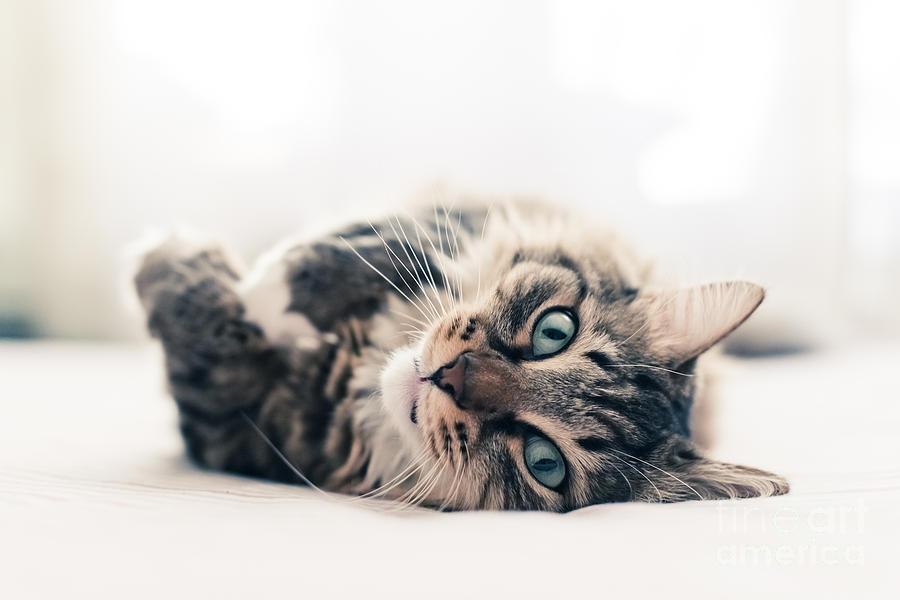 Fur Photograph - Grey Cat Lying On Bed by Valeri Potapova