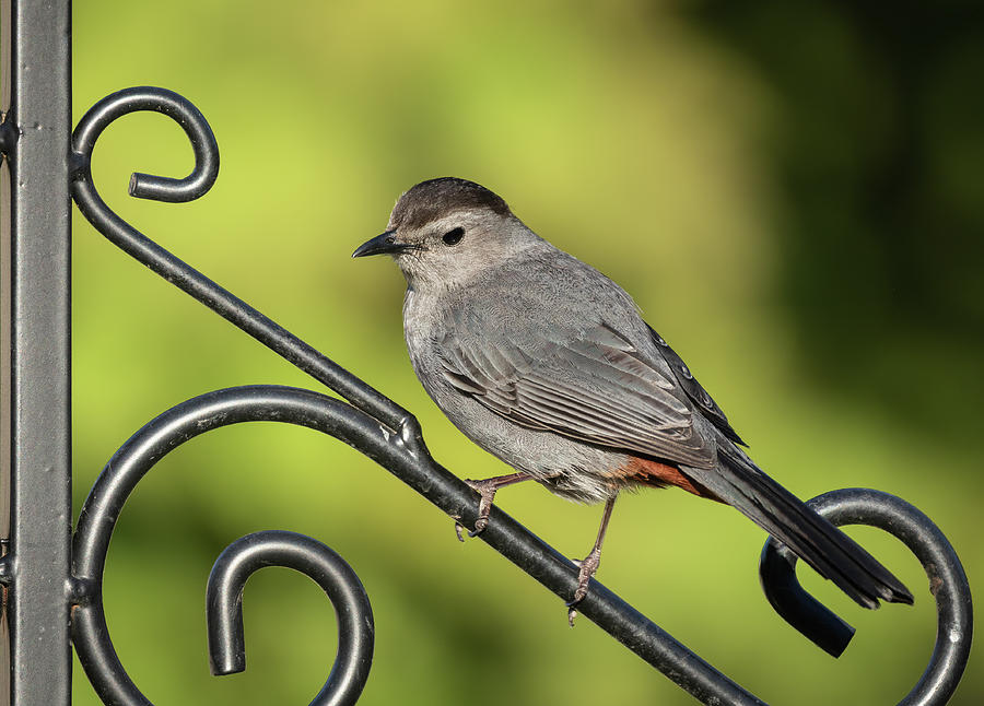 Grey Catbird 2019-1 by Thomas Young