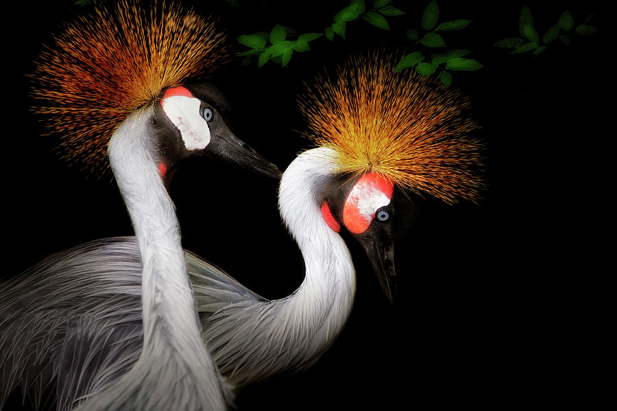 Grey Crowned Crane - African Birds - Endangered by Jason Politte