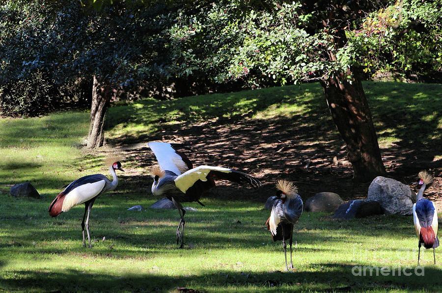 Grey Crowned Cranes by Sandra Huston