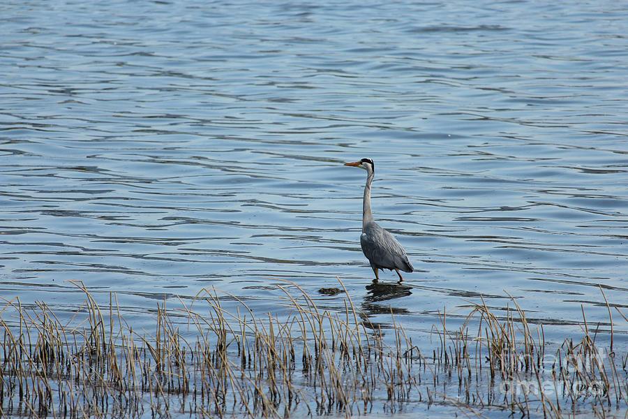 Grey Heron 3 Donegal Ireland by Eddie Barron