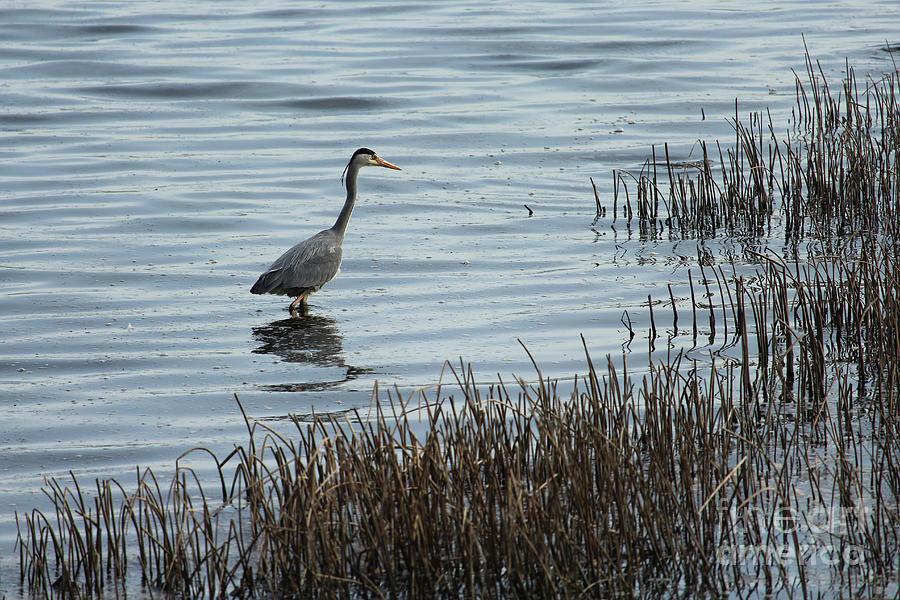 Grey Heron 4 Donegal Ireland by Eddie Barron