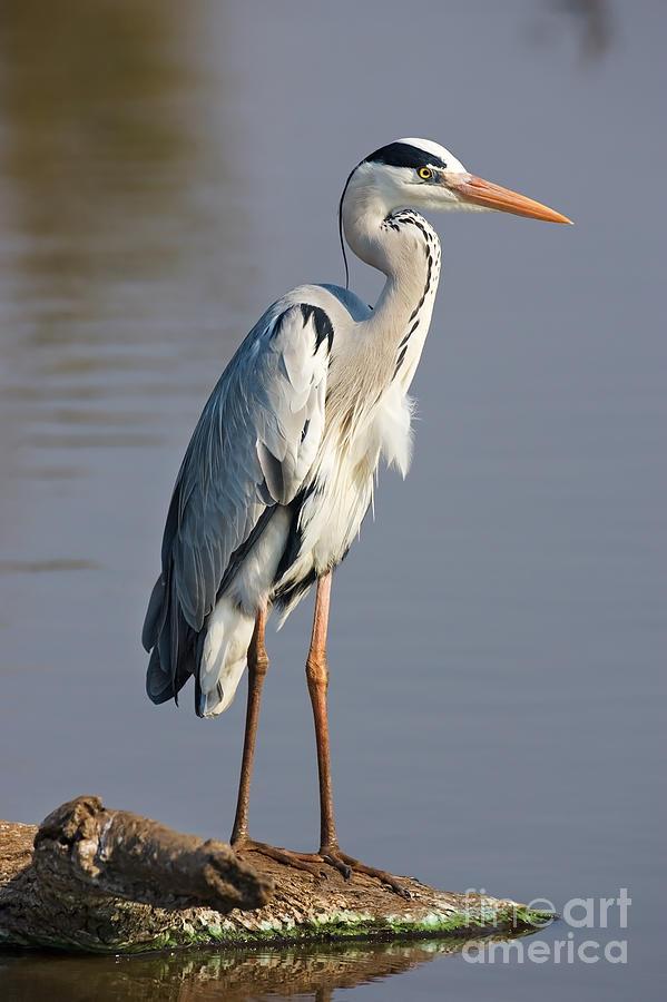 Beak Photograph - Grey Heron  Ardea Cinerea  South Africa by Johan Swanepoel