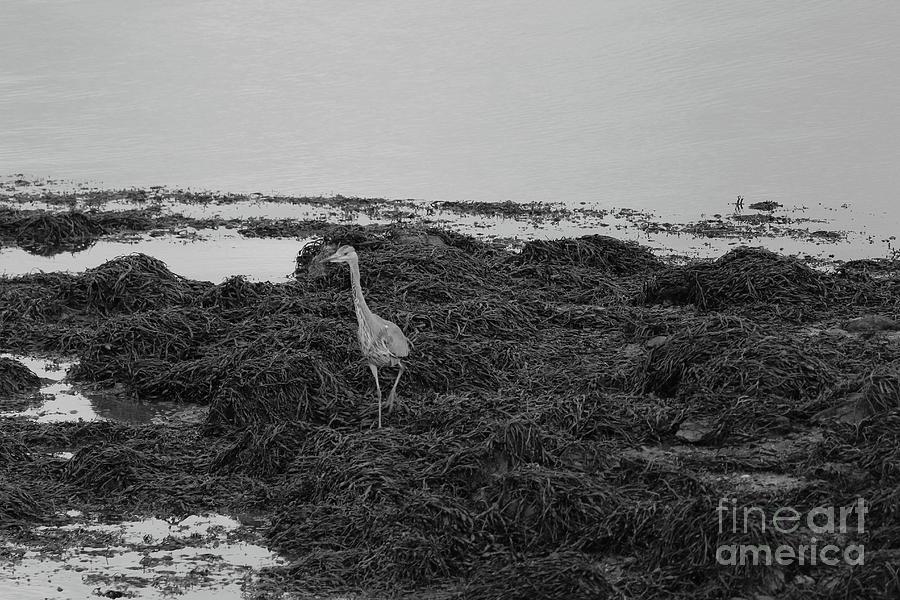 Grey Heron Donegal Ireland bw by Eddie Barron