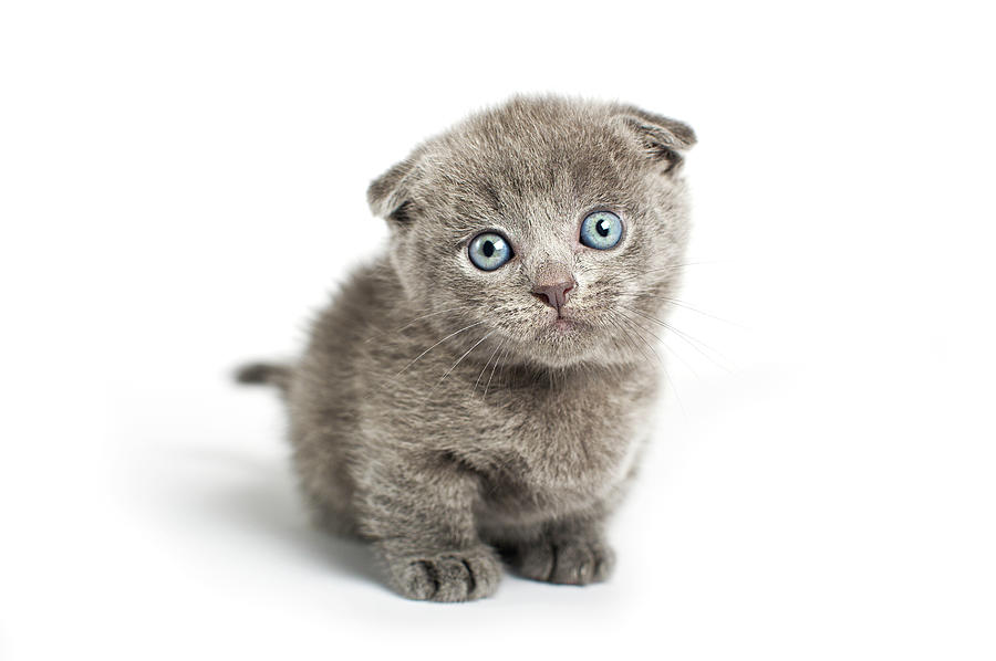 Grey Lop-eared Kitten Photograph by Andrew Maidanik Photography