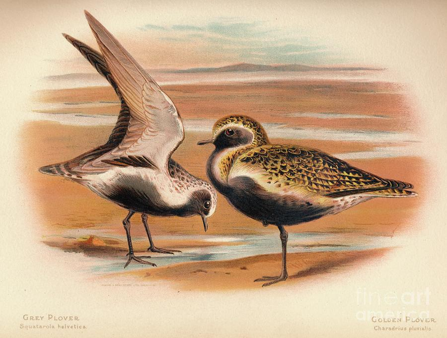 Grey Plover Squatarola Helvetica Drawing by Print Collector