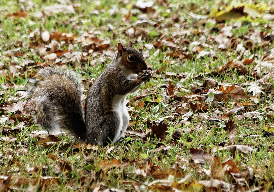Grey Squirrel With Acorn by Jeff Townsend