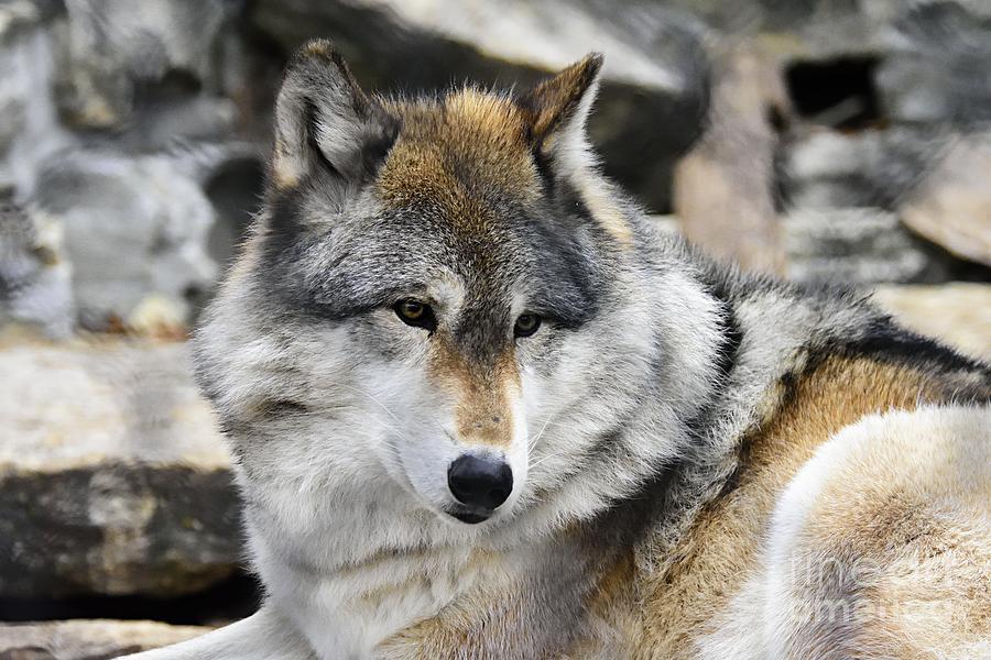 Grey Wolf by Larry Ricker