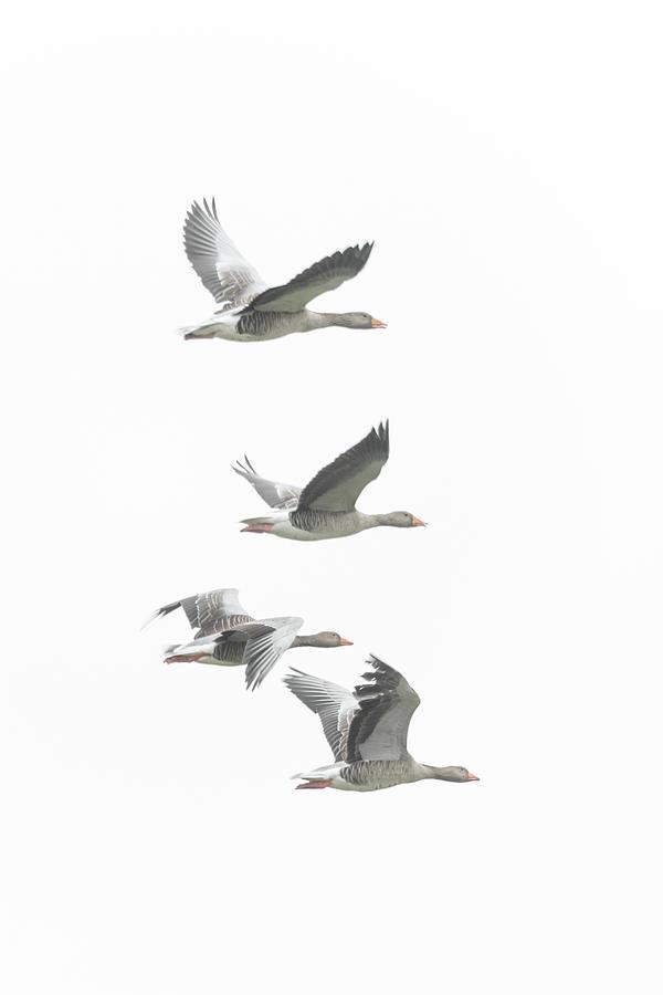 Greylag Geese by Anita Nicholson