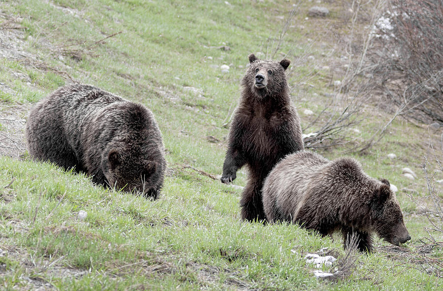 Grizzly 610 and cubs by Ronnie and Frances Howard