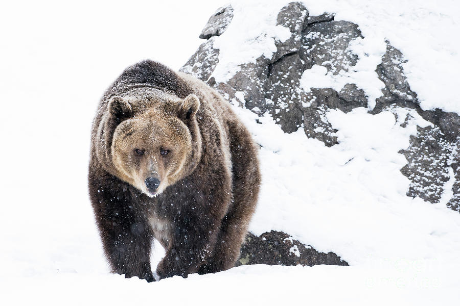 Grizzly Bear Approaching In Snow Photograph by Wanderluster