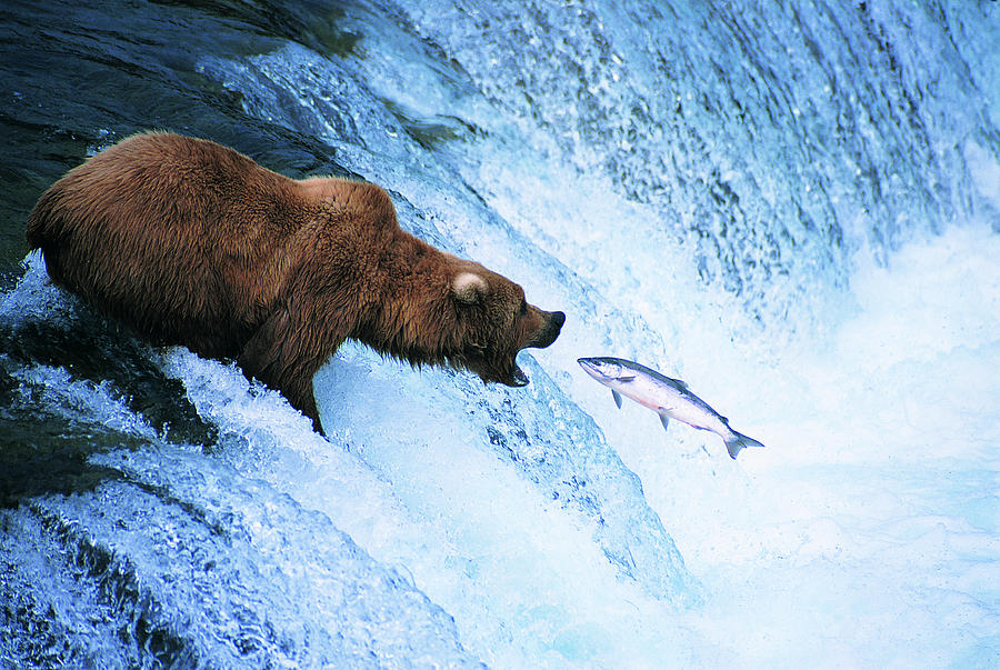 Grizzly Bear Feeds On A Jumping Salmon Photograph by Ron Crabtree