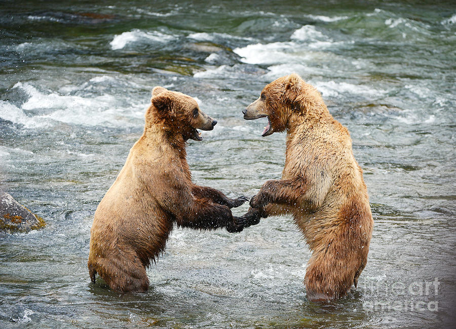 Grizzly Photograph - Grizzly Bear Fighting In A River At by Saraporn