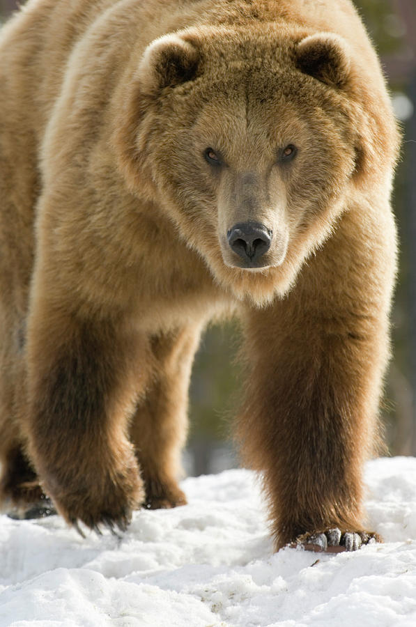 Grizzly Bear Photograph by Judilen