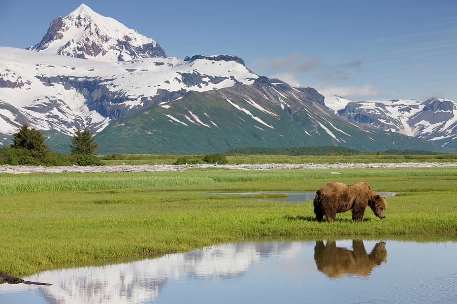 Grizzly Bear, Katmai National Park Photograph by Paul Souders