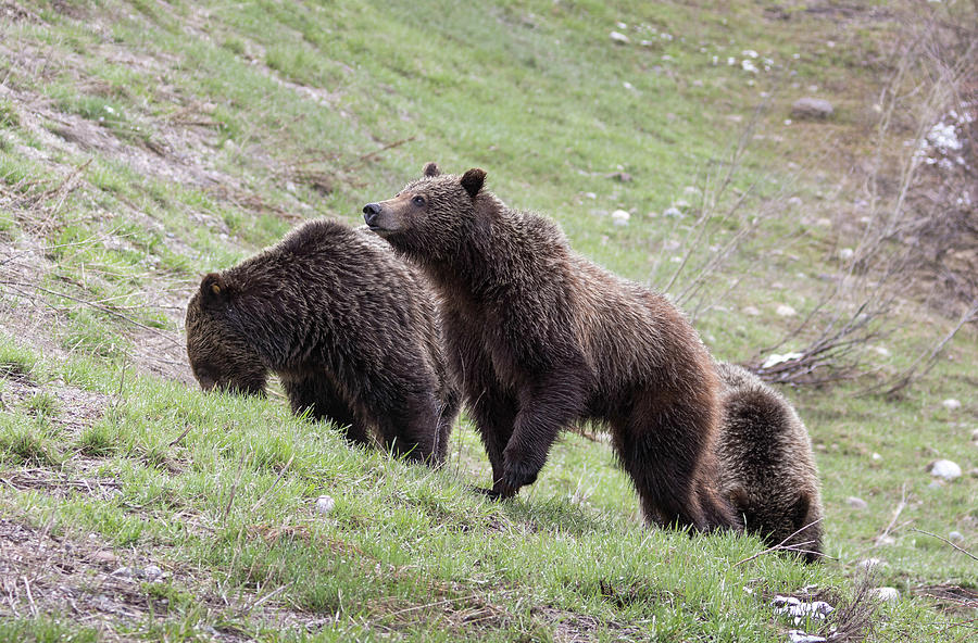 Grizzly Bear by Ronnie and Frances Howard