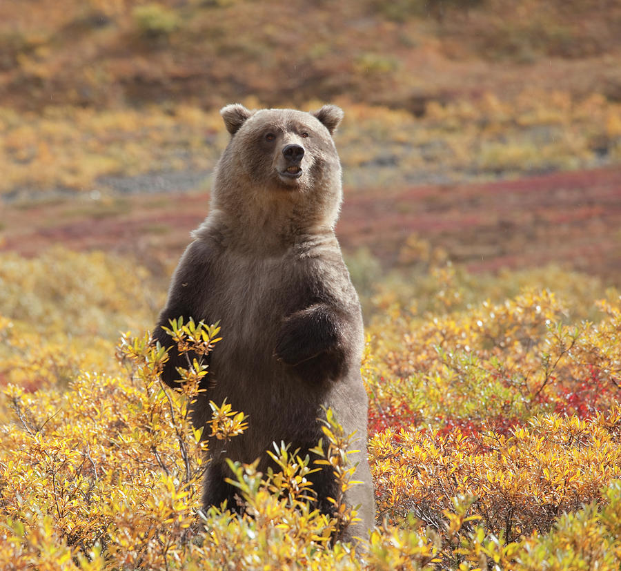 Grizzly Bear Standing Amid Autumn Photograph by Dhughes9