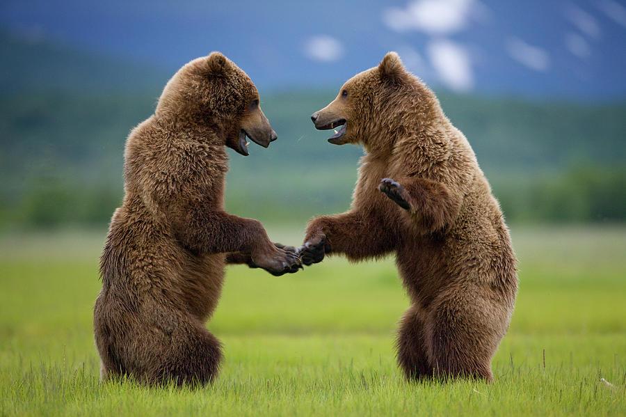 Grizzly Bears, Katmai National Park Photograph by Paul Souders