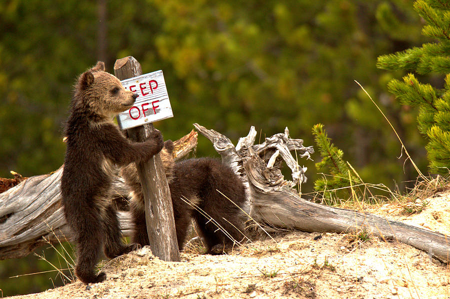 Grizzly Cubs At The Yellowstone Thermal Features by Adam Jewell