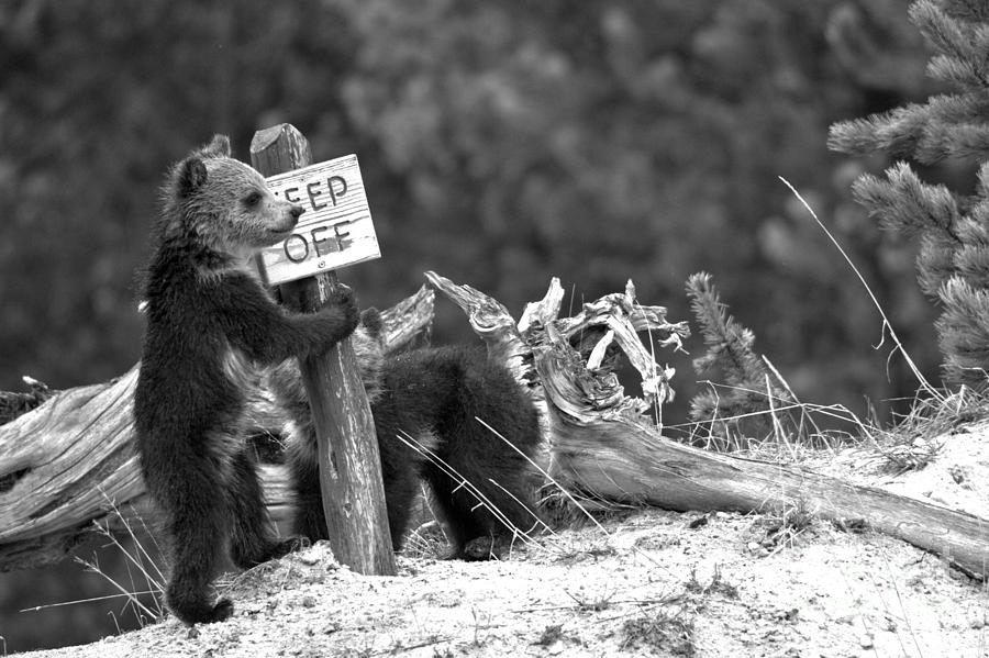 Grizzly Cubs At The Yellowstone Thermal Features Black And White by Adam Jewell