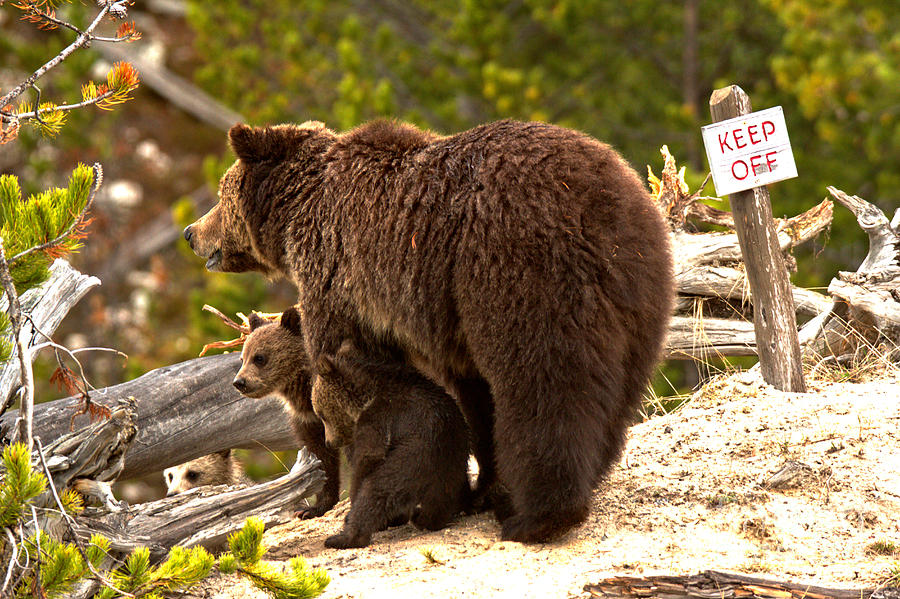 Grizzly Family At Roaring Mountain by Adam Jewell