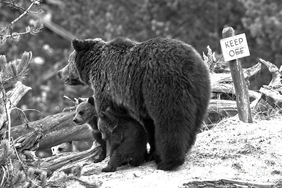 Grizzly Family At Roaring Mountain Black And White by Adam Jewell