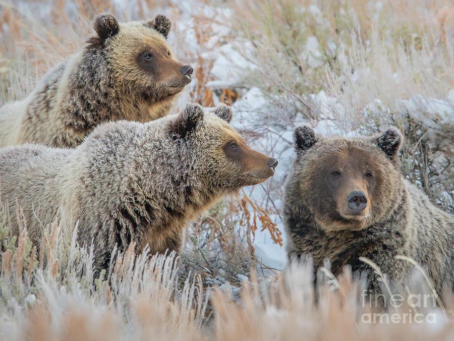 Grizzly Family by Brad Schwarm