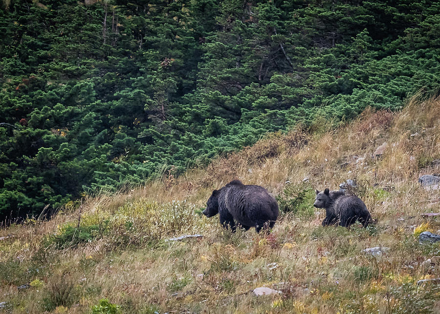Bear Photograph - Grizzly Mountain by Gary Migues