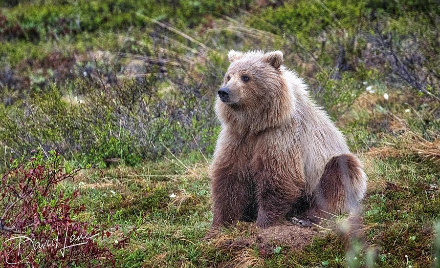 Grizzly Sitting by David A Lane