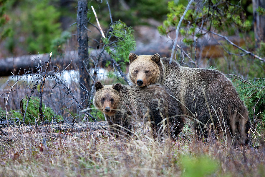 Grizzly Sow With Cub Photograph by Bucks Wildlife Photography